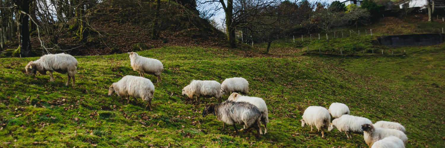 Sheep on a country hillside