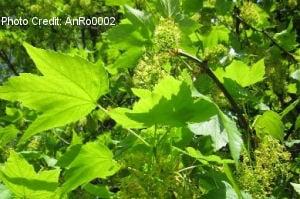 Sycamore_tree_300x200